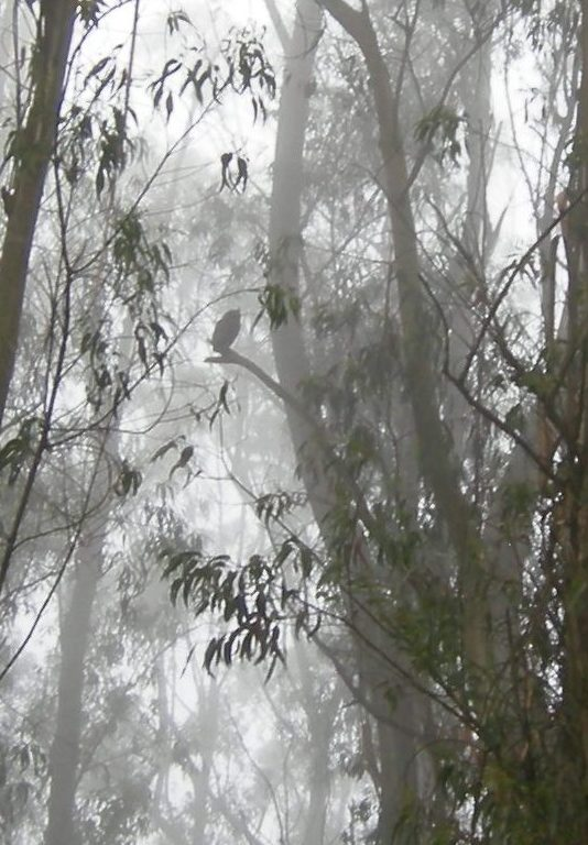 Eucalyptus, fog, Great Horned Owl (Photo: Rupa Bose)