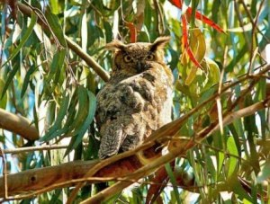 Great horned owl in eucs (Photo: Janet Kessler)