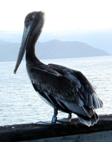 pelican k15