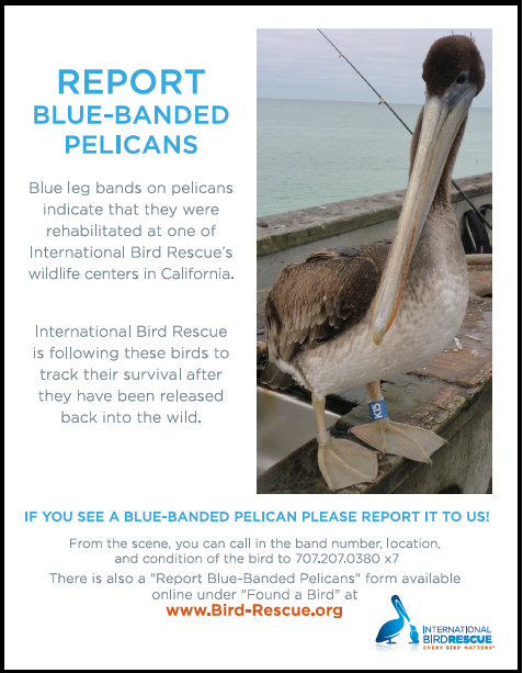 pelican poster