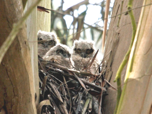 three owlets (Photo: Janet Kessler)