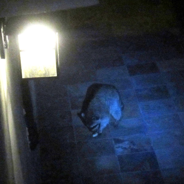 raccoon at night 2a