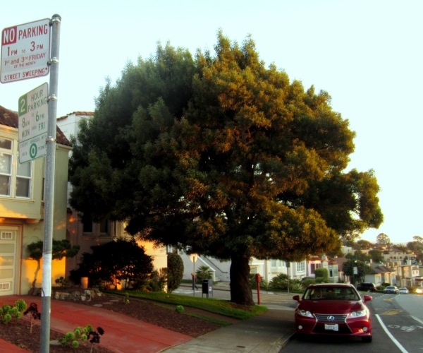 tree on Claremont, San Francisco