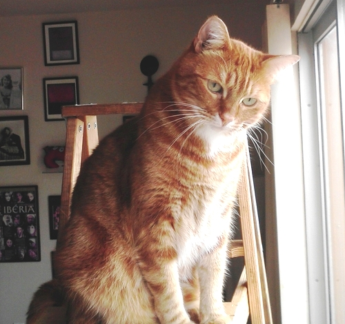 found lost ginger tabby cat boycat forest knolls