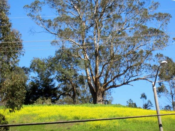 Beautiful eucalyptus tree in mustard meadow at Laguna Honda Hospital San Francisco