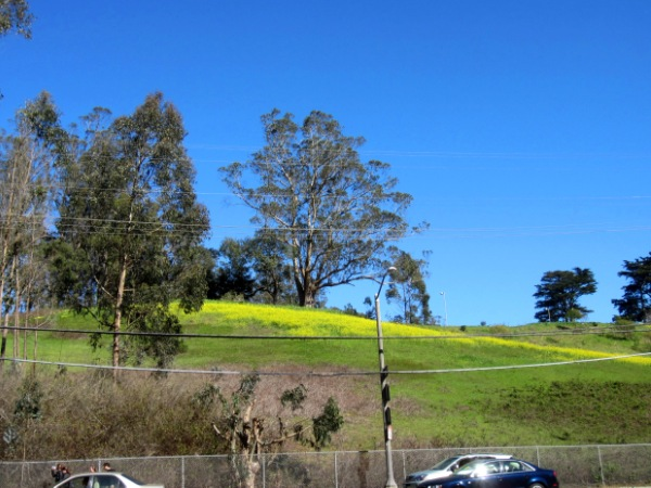 Mustard meadow in Laguna Honda Hospital