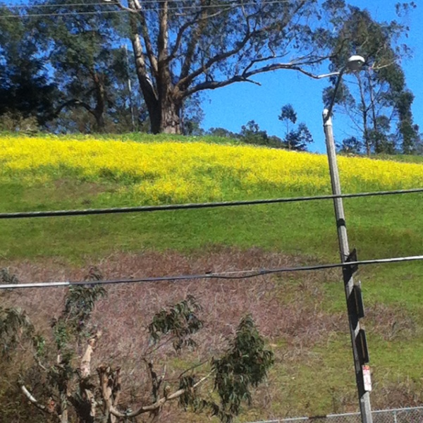 photo mustard in bloom Laguna Honda
