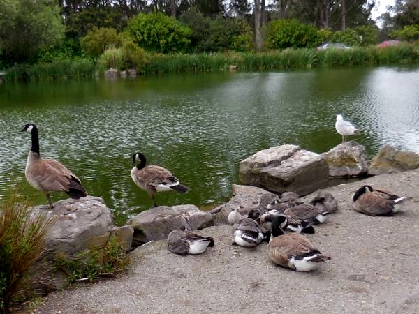 baby geese sleep while adults stand guard