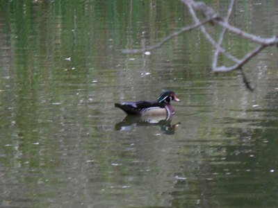 blurry pic of male wood duck