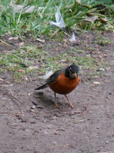 hunting robin