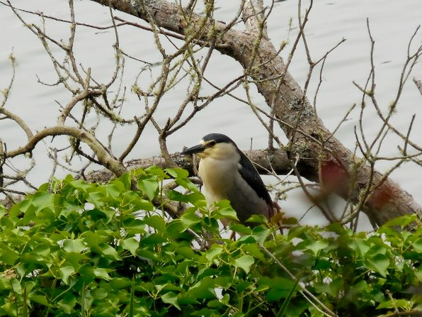 night heron holds a pose 1