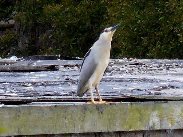 Night heron posing 2
