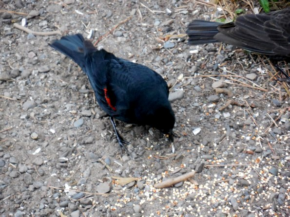 redwinged blackbird foraging