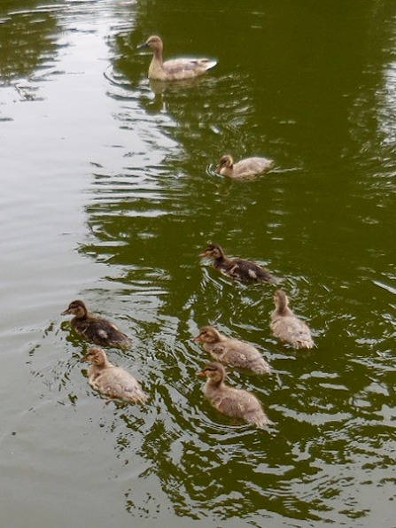 seven half-grown ducklings still hang out with mom
