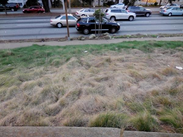 brown grass no mow fescue