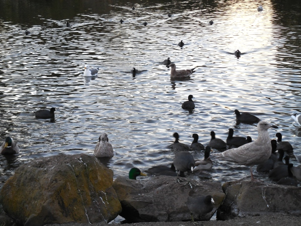 gulls mallards coots at Stow Lake Dec 2014