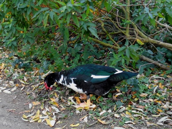 muscovy duck at Stow Lake