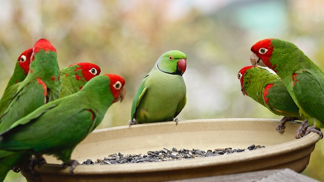 Rose-ringed parakeet surround by red-masked conures - (c) M. Bruce Grosjean