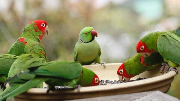 parrots san francisco 6 - copyright M. Bruce Grosjean