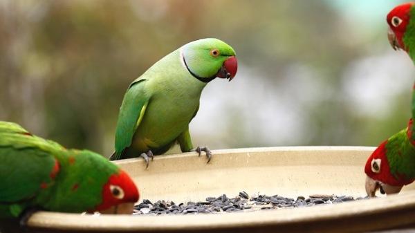 parrots san francisco - copyright M. Bruce Grosjean