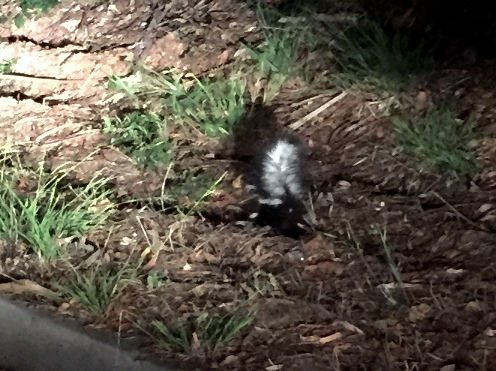 little skunk in Forest Knolls